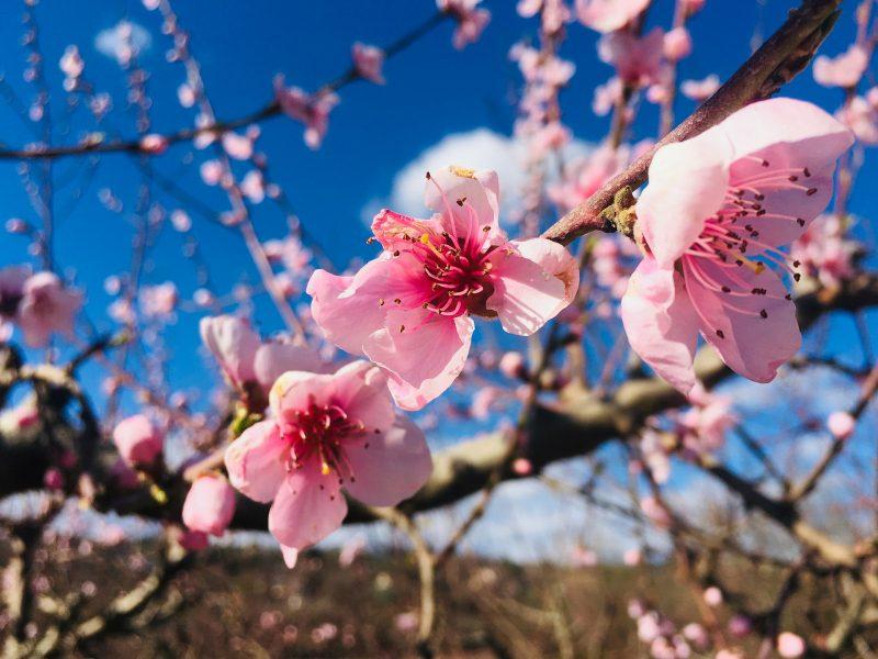 almond-blossom-4933270_1920